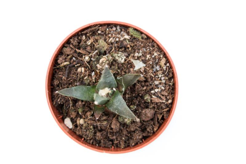Ariocarpus retusus subs. trigonus