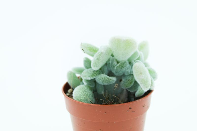 Echeveria Frosty cristata