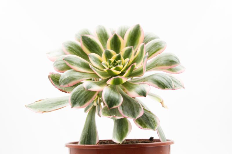 Aeonium Sunburst groot