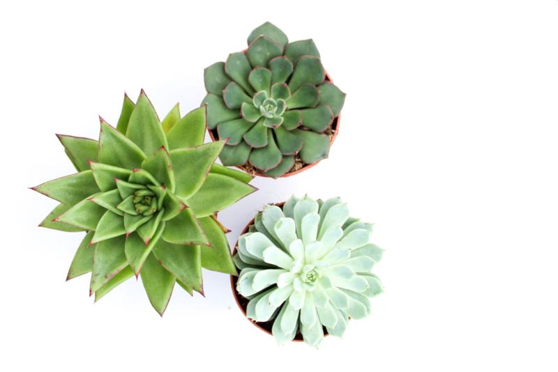 Echeveria mix 3 plants
