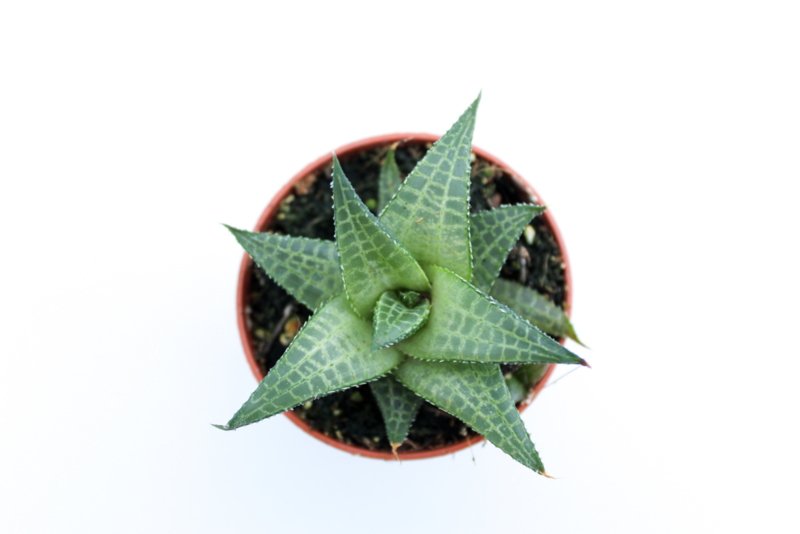 Haworthia Venosa subs. Tessellata