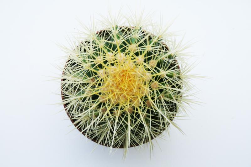 Echinocactus Grusonii bolcactus