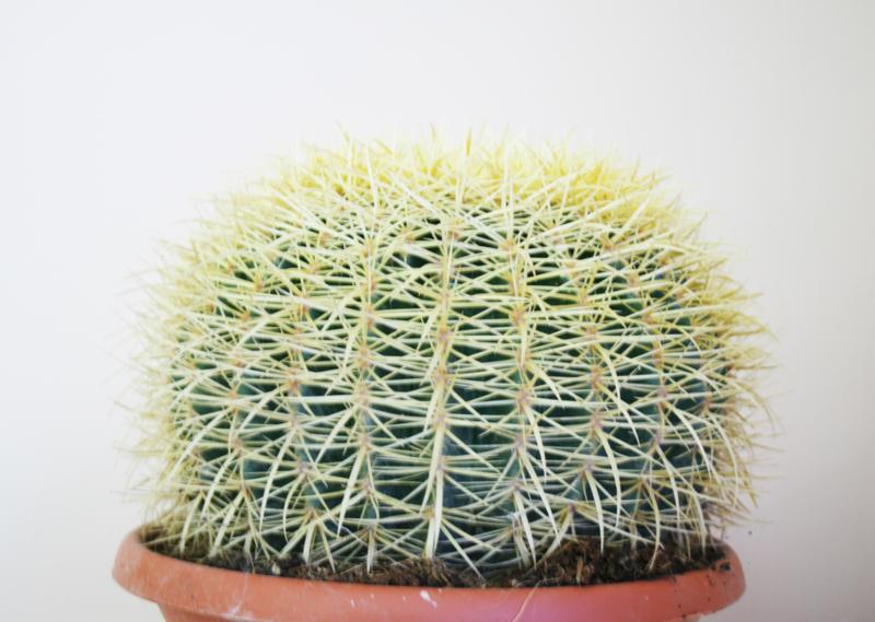 Echinocactus Grussonii Cactus Groot