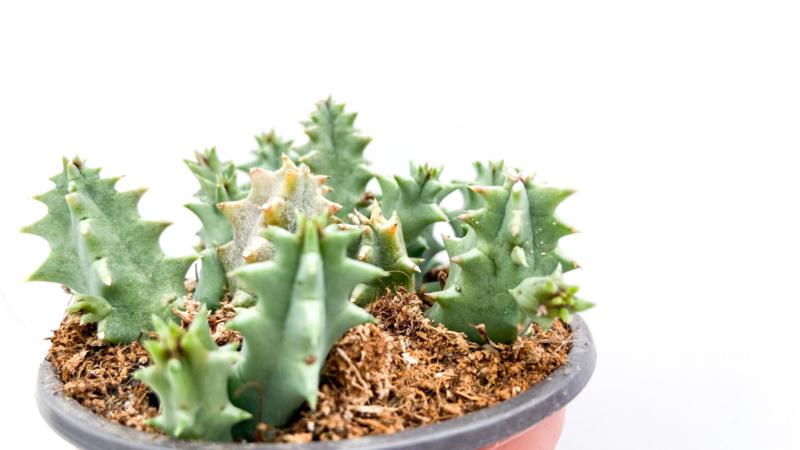 Huernia zebrina subs. Insigniflora
