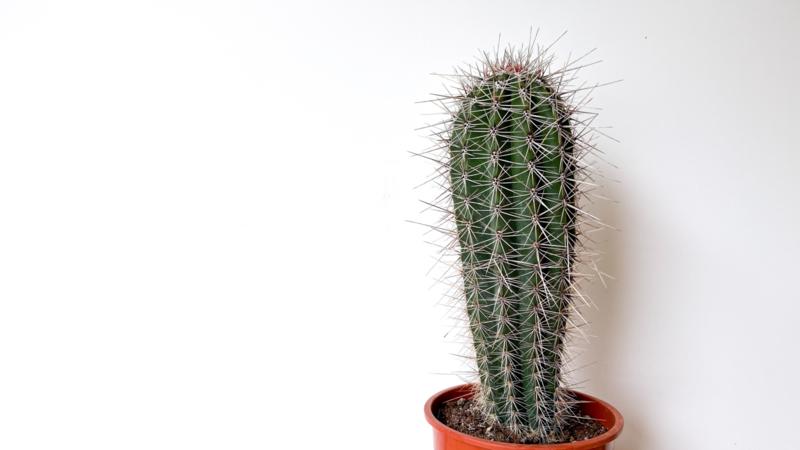 Pachycereus Pringlei cactus