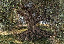 Olive tree 8-531 Komar olijven boom