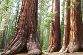 @Walls fotobehang mammoetboom Sequoia 0102