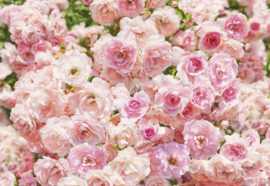 Rosa 8-937  Komar