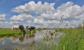 2128 Koeien langs de sloot Hollandse landschappen
