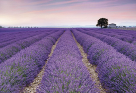 Provence XXL4-036 Komar lavendel