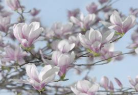 Magnolia 8-738 Komar
