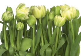 Tulips 8-900 Komar