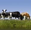 Koeien 3750039 Farm Life behangrand zelfklevend