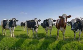 8258 Koeien op een rij Hollandse landschappen