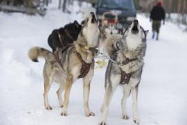 X-back Siberian Race