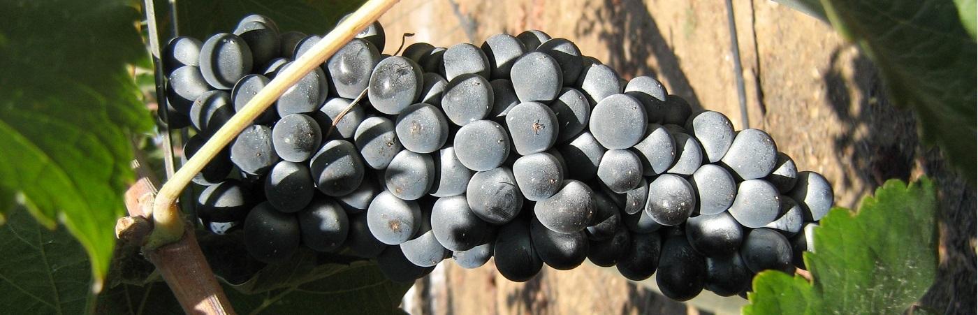 Druiven in volle groei