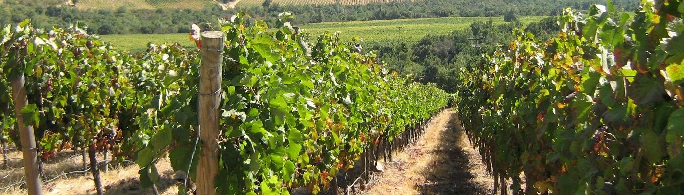 Wijnranken Chili
