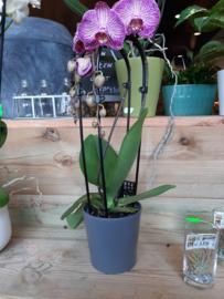 Pot mat donker grijs laag (orchideeën pot) ○12 cm
