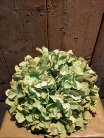 Hortensia bol groen