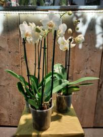 Orchideeën 2 taks