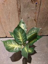 Dieffenbachia zijdeplant