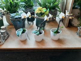 Orchideeën mini