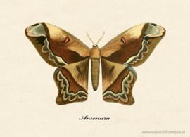 Arsenura