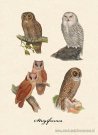 Strigiformes