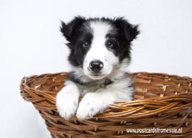 Hond in mand ansichtkaart
