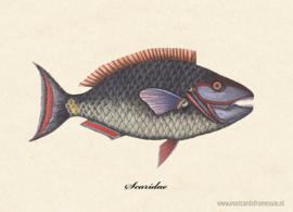Scaridae