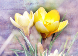 Flowers - Crocus