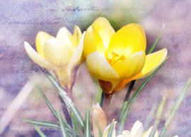 Bloemen - Krokus