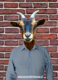 Goat with shirt