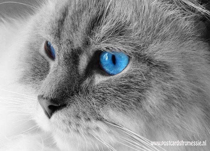 Kat met blauwe ogen ansichtkaart