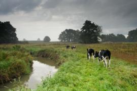 Koeien bij het Loonerdiep