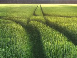 20180607 'wheatfield at Annen'.
