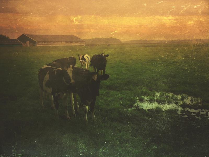 20170922 Cows