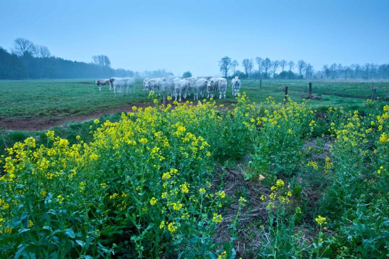 Koeien en koolzaad