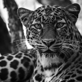 Magneet luipaard - zwart - 7 x 7 cm