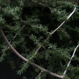 Wilde Asparagus ( losse tak )