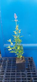 Agastache 'Blue Fortune' Dropplant