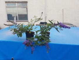 Buddleja bloomtastic 'Dreaming Lavender' (Dwergvlinderstruik, Laagblijvende vlinderstruik)