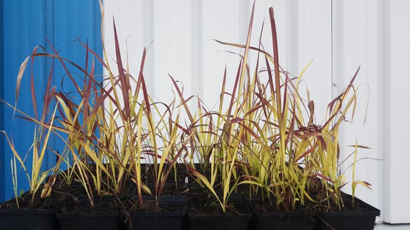 imperata cylindrica 'red baron'( japans bloedgras)