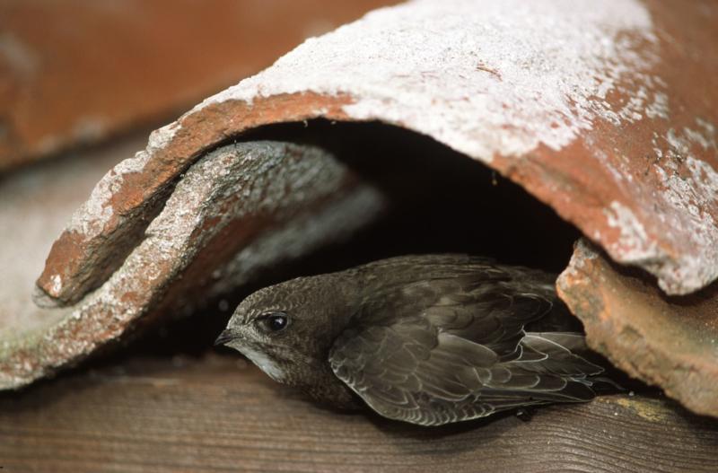 'Blijven hangen is mijn hobby', zei de gierzwaluw. Help mij beschermen en word lid!