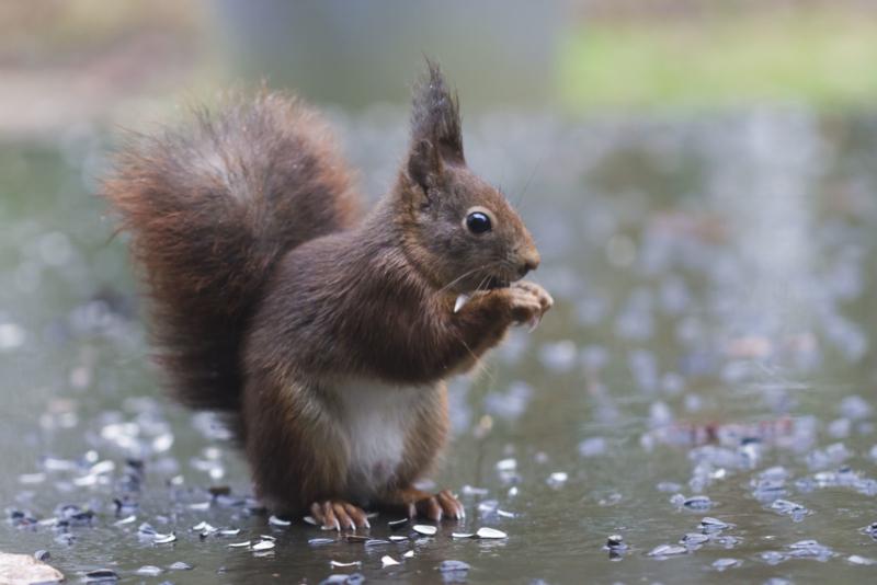 'Ook eikels verdienen onze bescherming', zei de eekhoorn. Help mij beschermen en word lid!