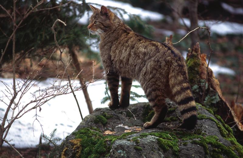 'Geef mij maar een stevige kater in de morgen', zei de wilde kat. Help mij beschermen en word lid!