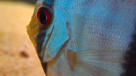 Discus heckel blue nhamunda