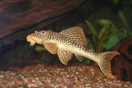 L014 Scobiancistrus Aureatus 9cm