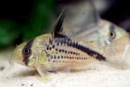 Corydora Lozoxonus