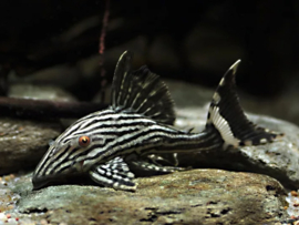 L190 Panaque nigrolineatus royal pleco